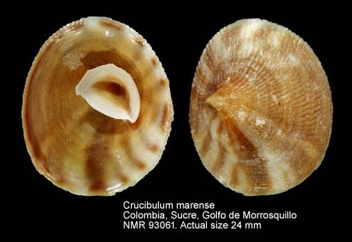 Crucibulum marense