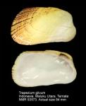 Trapezium gilvum