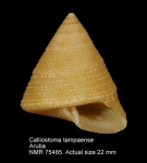 Calliostoma tampaense