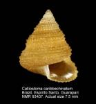 Calliostoma caribbechinatum