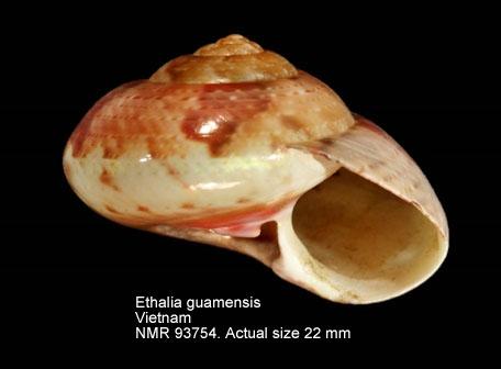 Ethalia guamensis