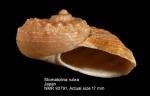Stomatolina rubra