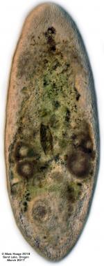 Diatomovora amoena