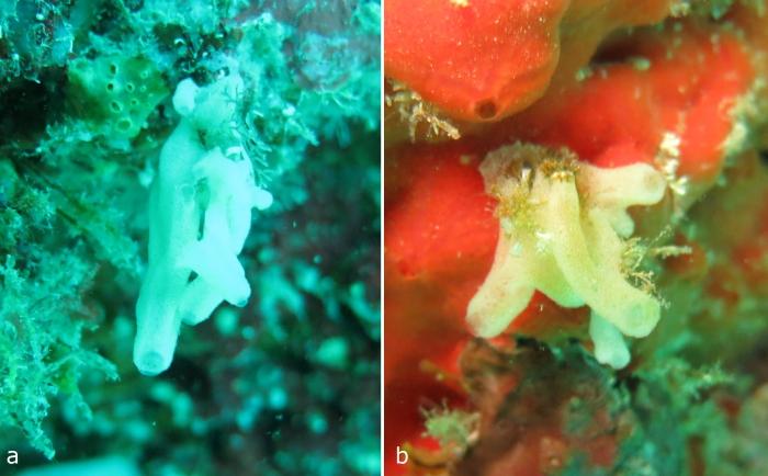 Borojevia tubulata holotype and paratype