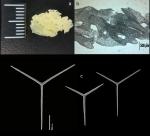 Clathrina maremeccae holotype