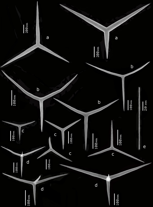 Leucandra pilula spicules