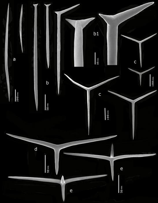 Kebira tetractinifera spicules