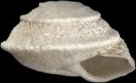 Sphincterochila tunetana (L. Pfeiffer, 1850)