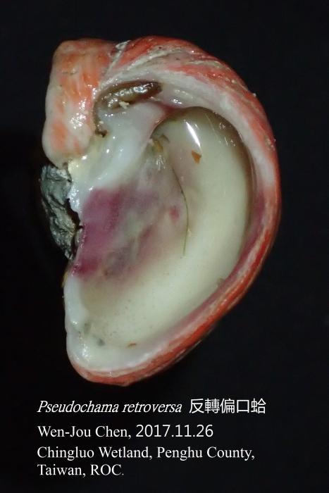Pseudochama retroversa (Lischke, 1870)