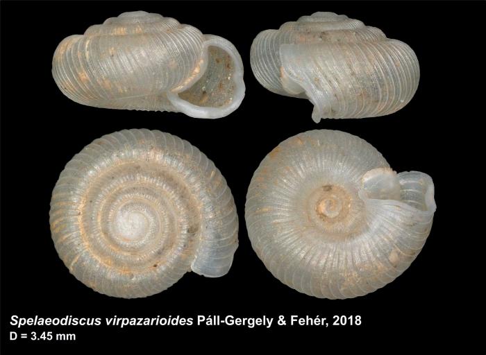 Spelaeodiscus virpazarioides Páll-Gergely & Fehér, 2018, holotype