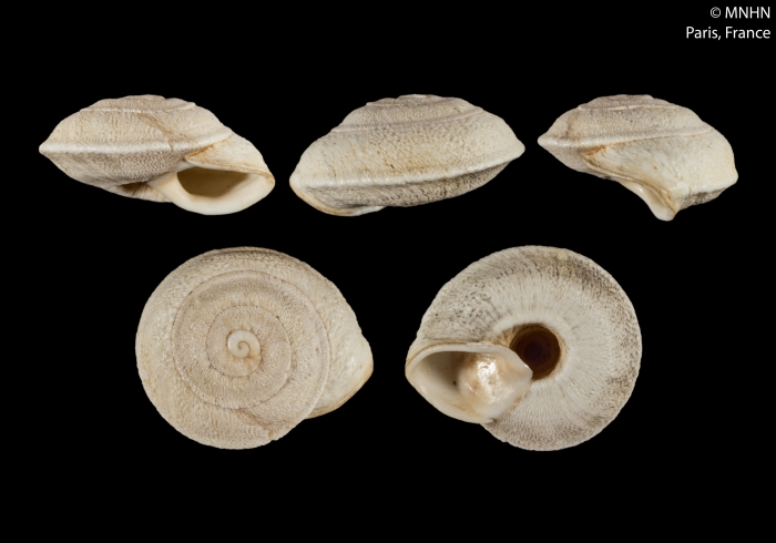 Helix cariosa Olivier, 1804