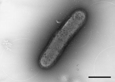 Nitratiruptor tergarcus MI55-1T (AB175499)