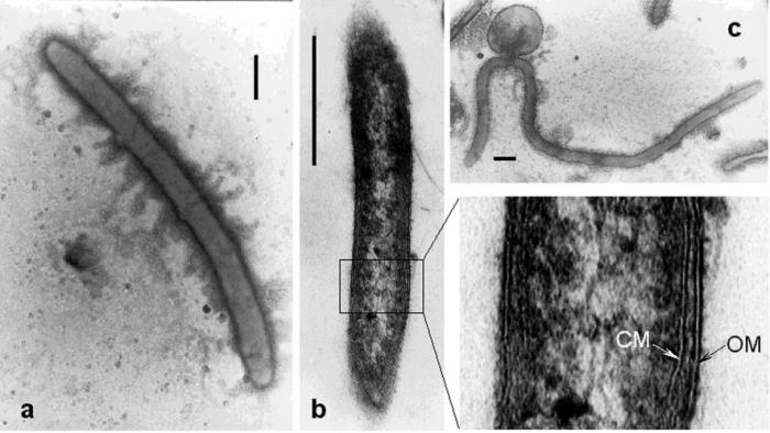 Caldithrix abyssi strain LF13T