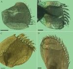 Elytra of Grubeulepis serrata, from 1, 2, 8, & 12th segments