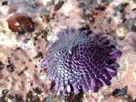 Colobocentrotus atratus Mayotte