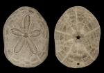 Clypeaster reticulatus test