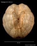 Brissalius vannoordenburgi, paratype, aboral view