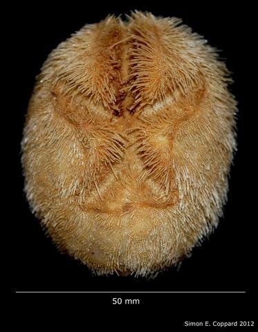 Brissopsis pacifica, aboral view