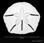 Lanthonia longifissa, aboral view of denuded test
