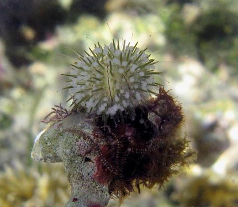 Lytechinus williamsi from Panama