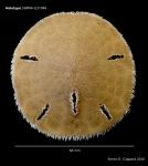 Mellita isometra, holotype, aboral view