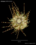 Caenopedina annulata, holotype, aboral view