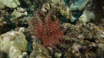 Acanthaster planci Crown of Thorns SeaStar DMS