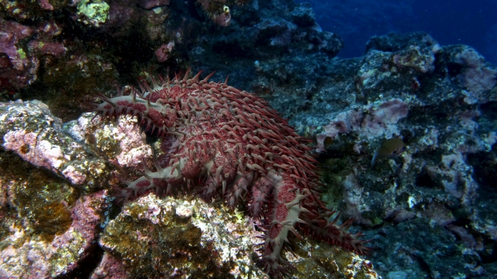 Acanthaster planci Crown of Thorns SeaStar3 DMS