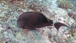 Acanthurus nigricauda Eye stripeSurgeonfish1 DMS