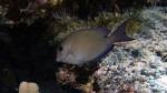 Acanthurus nigrofuscus BrownSurgeonfish DMS