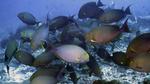 Acanthurus xanthopterus YellowfinSurgeonfish DMS