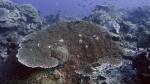 Acropora anthocercis DMS