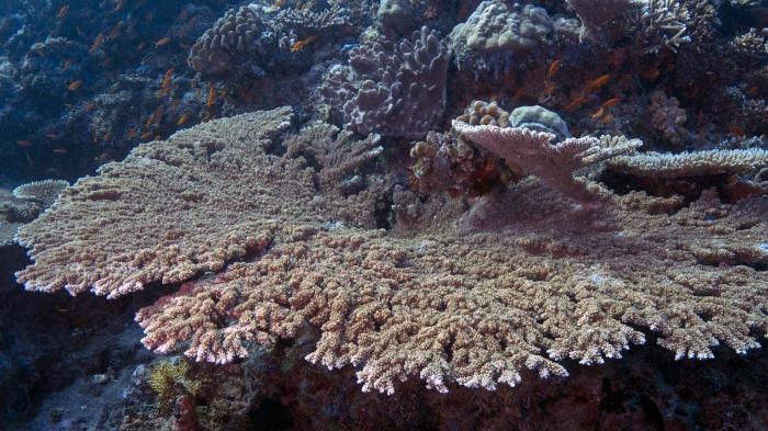 Acropora clathrata LatticeCoral DMS