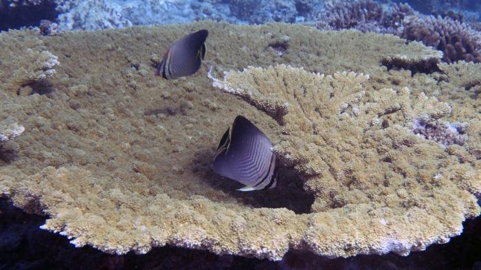 Acropora clathrata LatticeCoral3 DMS