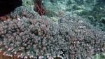 Acropora granulosa1 DMS