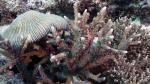 Acropora lutkeni DMS