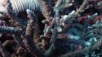 Acropora lutkeni1 DMS