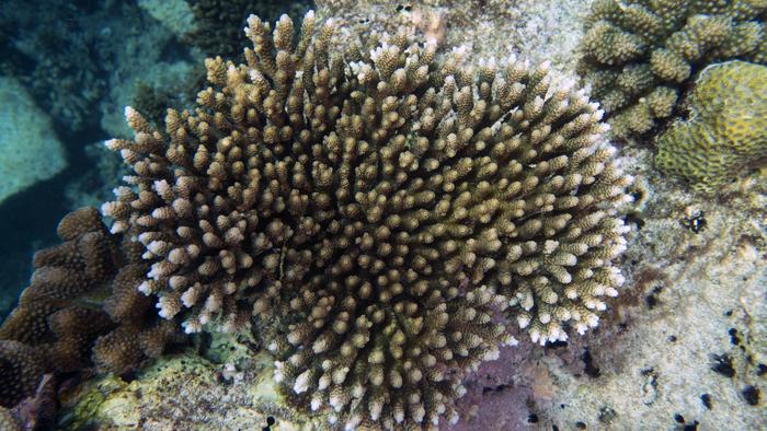 Acropora nasuta NoseyCoral3 DMS