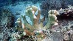 Acropora palifera2 DMS