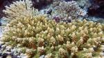 Acropora secale DMS