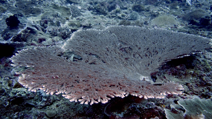 Acropora tutuilensis DMS
