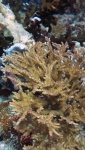 Acropora variabilis DMS
