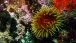 Actinia equina Beadlet anemone DMS