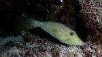 Aluterus scriptus ScribbledFilefish DMS