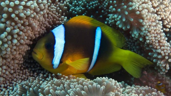 Amphiprion bicinctus Red sea anemonefish2 DMS