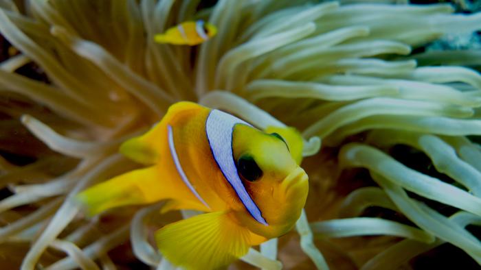 Amphiprion bicinctus Red sea anemonefish6 DMS