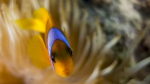 Amphiprion bicinctus Red sea anemonefish8 DMS