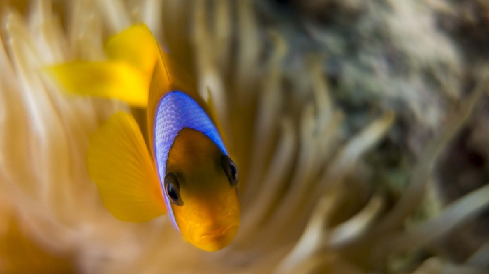 Amphiprion bicinctus Red sea anemonefish8 DMS
