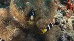 Amphiprion clarkii ClarksAnemonefish DMS