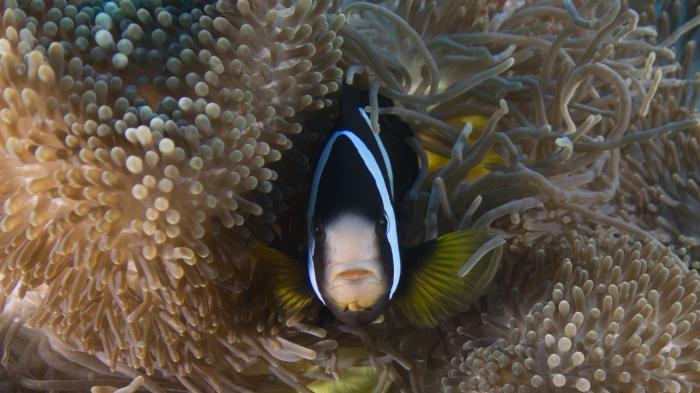 Amphiprion clarkii ClarksAnemonefish2 DMS